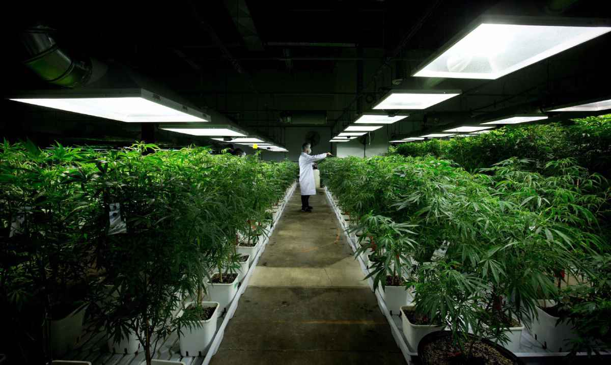 Weed production in the Netherlands